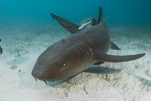 Nurse shark. Bahamas, Ginglymostoma cirratum, natural history stock photograph, photo id 32033