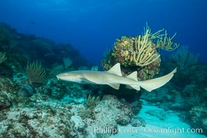 Nurse shark, Grand Cayman Island. Cayman Islands, natural history stock photograph, photo id 32251