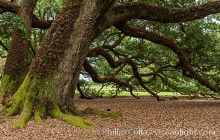 Oak Alley Plantation and its famous shaded tunnel of  300-year-old southern live oak trees (Quercus virginiana).  The plantation is now designated as a National Historic Landmark. Oak Alley Plantation, Vacherie, Louisiana, USA, Quercus virginiana, natural history stock photograph, photo id 30999