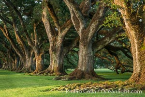 Oak Alley Plantation and its famous shaded tunnel of  300-year-old southern live oak trees (Quercus virginiana).  The plantation is now designated as a National Historic Landmark, Quercus virginiana, Vacherie, Louisiana