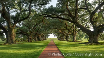 A tunnel of old southern oak trees stretches off toward the Mississippi River.  Oak Alley Plantation and its famous shaded tunnel of  300-year-old southern live oak trees (Quercus virginiana).  The plantation is now designated as a National Historic Landmark, Quercus virginiana, Vacherie, Louisiana