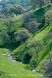 Oak trees and grass cover the countryside in green, spring, Sierra Nevada foothills. Mariposa, California, USA, Quercus, natural history stock photograph, photo id 16056