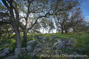 Oak tree backlit by the morning sun, surrounded by boulders and springtime grasses. Santa Rosa Plateau Ecological Reserve, Murrieta, California, USA, natural history stock photograph, photo id 20533