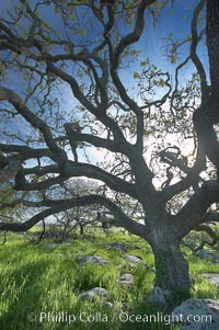 Oak tree backlit by the morning sun, surrounded by boulders and springtime grasses. Santa Rosa Plateau Ecological Reserve, Murrieta, California, USA, natural history stock photograph, photo id 20536