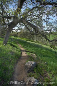 Oak tree and dirt walking path, Santa Rosa Plateau Ecological Reserve, Murrieta, California
