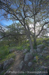 Oak tree and dirt walking path. Santa Rosa Plateau Ecological Reserve, Murrieta, California, USA, natural history stock photograph, photo id 20532