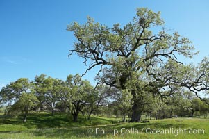 Oak trees and grass cover the countryside in green, spring, Sierra Nevada foothills. Mariposa, California, USA, Quercus, natural history stock photograph, photo id 16051