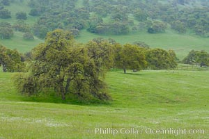 Oak trees and grass cover the countryside in green, spring, Sierra Nevada foothills. Mariposa, California, USA, Quercus, natural history stock photograph, photo id 16057
