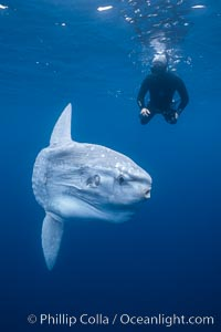 Ocean sunfish and photographer, open ocean, San Diego, California