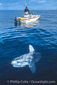 Ocean sunfish swimming near small boat, Mola mola, San Diego, California