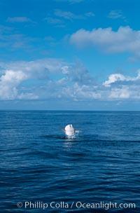 Ocean sunfish breaching, Mola mola, San Diego, California