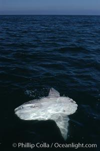Ocean sunfish basking flat on the ocean surface.  Open ocean offshore of San Diego, Mola mola