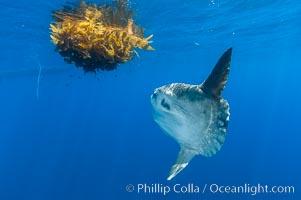 Ocean sunfish hovers near drift kelp to recruite juvenile fish to remove parasites, open ocean. San Diego, California, USA, Mola mola, natural history stock photograph, photo id 10003