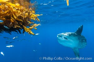 Ocean sunfish hovers near drift kelp to recruite juvenile fish to remove parasites, open ocean. San Diego, California, USA, Mola mola, natural history stock photograph, photo id 10009