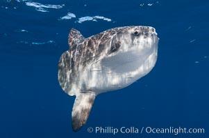 Ocean sunfish, open ocean, Mola mola, San Diego, California