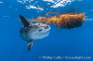 Ocean sunfish hovers near drift kelp to recruite juvenile fish to remove parasites, open ocean, Mola mola, San Diego, California