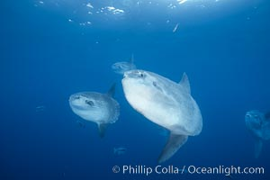 Ocean sunfish schooling, open ocean, Baja California