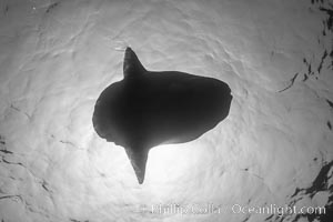 Ocean sunfish viewed from below, sunning/basking at surface, open ocean, San Diego, California