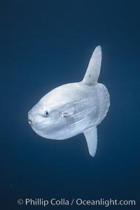 Ocean sunfish portrait, open ocean near San Diego