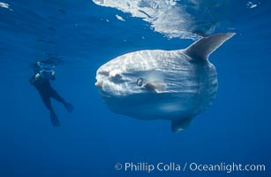 Ocean sunfish with videographer, open ocean. San Diego, California, USA, Mola mola, natural history stock photograph, photo id 02872