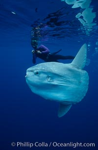 Ocean sunfish with videographer, open ocean. San Diego, California, USA, Mola mola, natural history stock photograph, photo id 02874