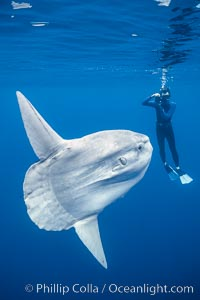Ocean sunfish with videographer, open ocean. San Diego, California, USA, Mola mola, natural history stock photograph, photo id 02876