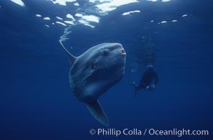 Ocean sunfish and diver, open ocean, Baja California., Mola mola, natural history stock photograph, photo id 03272