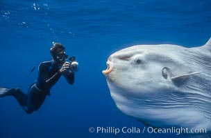 Ocean sunfish and photographer, open ocean, Mola mola, San Diego, California