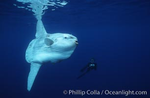 Ocean sunfish and photographer, open ocean. San Diego, California, USA, Mola mola, natural history stock photograph, photo id 03327