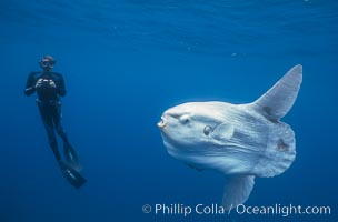 Ocean sunfish and freediving photographer , open ocean, Mola mola, San Diego, California