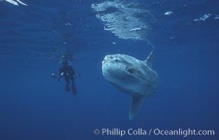 Ocean sunfish and freediving photographer, open ocean, Baja California, Mola mola
