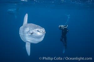 Ocean sunfish and freediving videographer open ocean, Baja California., Mola mola, natural history stock photograph, photo id 06407