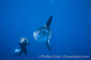 Ocean sunfish and freediving videographer open ocean, Baja California., Mola mola, natural history stock photograph, photo id 06408