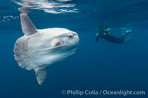 Ocean sunfish, open ocean, photographer, freediving. San Diego, California, USA, Mola mola, natural history stock photograph, photo id 26051