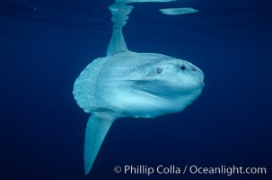 Ocean sunfish, open ocean. San Diego, California, USA, Mola mola, natural history stock photograph, photo id 02899