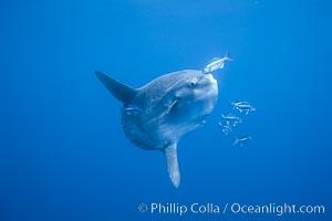 Ocean sunfish, halfmoon perch removing its parasites, open ocean, Medialuna californiensis, Mola mola, San Diego, California