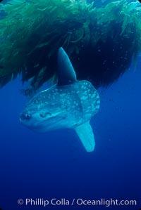 Ocean sunfish recruiting fish near drift kelp to clean parasites, open ocean, Baja California, Mola mola