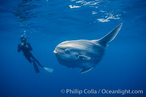 Ocean sunfish, open ocean. San Diego, California, USA, Mola mola, natural history stock photograph, photo id 03321