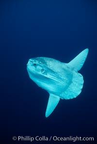 Ocean sunfish, open ocean. San Diego, California, USA, Mola mola, natural history stock photograph, photo id 03492