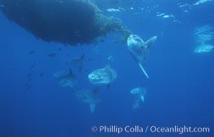 Ocean sunfish schooling near drift kelp, soliciting cleaner fishes, open ocean, Baja California, Mola mola