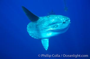 Ocean sunfish, open ocean. San Diego, California, USA, Mola mola, natural history stock photograph, photo id 02089