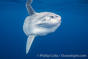 Ocean sunfish, open ocean. San Diego, California, USA, Mola mola, natural history stock photograph, photo id 02895
