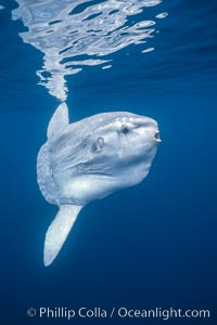 Ocean sunfish, open ocean, Baja California., Mola mola, natural history stock photograph, photo id 03273