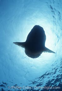 Ocean sunfish, basking at surface, viewed from underwater, open ocean. San Diego, California, USA, Mola mola, natural history stock photograph, photo id 03311