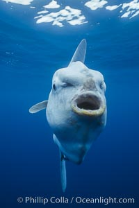 Ocean sunfish with mouth for slurping zooplankton, open ocean, Mola mola, San Diego, California