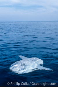 Ocean sunfish, sunning/basking at surface, open ocean. San Diego, California, USA, Mola mola, natural history stock photograph, photo id 03499