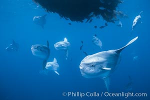 Ocean sunfish schooling near drift kelp, soliciting cleaner fishes, open ocean, Baja California., Mola mola, natural history stock photograph, photo id 06311