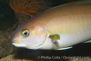 Ocean whitefish, Caulolatilus princeps