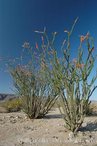 Ocotillo ablaze with springtime flowers. Ocotillo is a dramatic succulent, often confused with cactus, that is common throughout the desert regions of American southwest. Joshua Tree National Park, California, USA, Fouquieria splendens, natural history stock photograph, photo id 09177