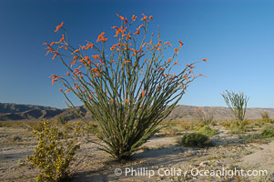 Ocotillo ablaze with springtime flowers. Ocotillo is a dramatic succulent, often confused with cactus, that is common throughout the desert regions of American southwest. Joshua Tree National Park, California, USA, Fouquieria splendens, natural history stock photograph, photo id 09180